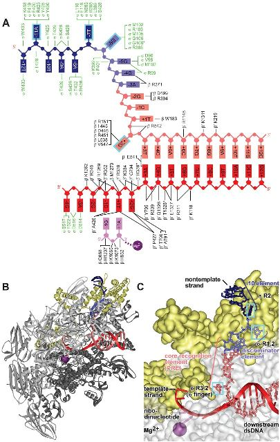 Structure of molecular machine that initiates transcription r